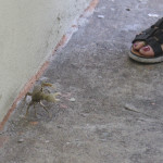 A crab who strayed a few miles from the beach!