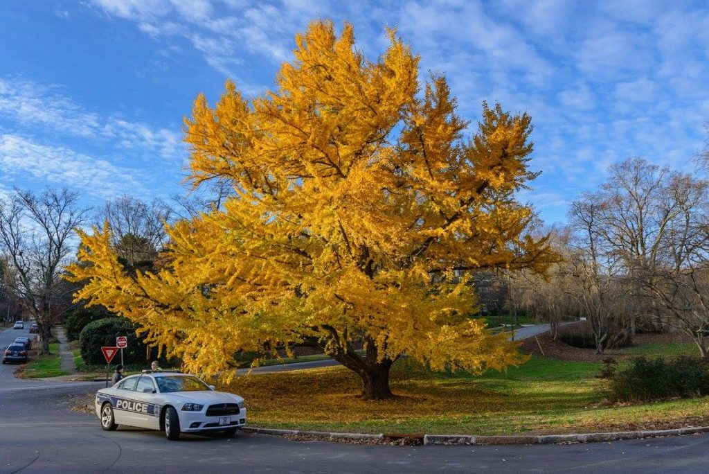 Gorgeous yellow tree by mile 1. Photo: Jones Racing Company.