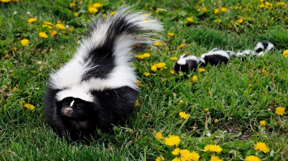 Don't be fooled. They are cute, and also evil. Very evil. Photo from https://kids.nationalgeographic.com/animals/skunk/#skunk-babies-walking.jpg